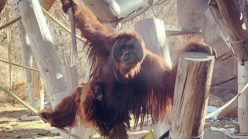 orangutan-reaccion-increible-cria